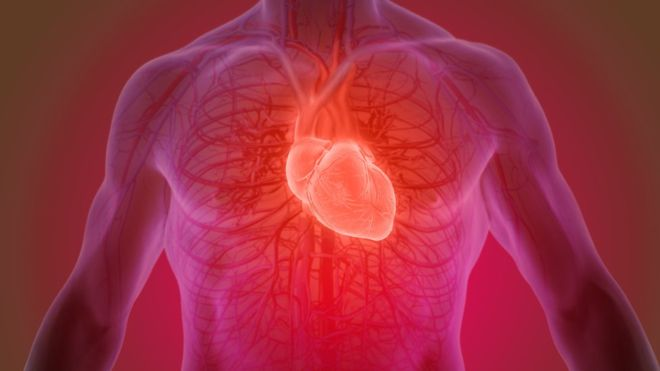 Разработан способ выращивания сердечной ткани человека для моделирования предсердий