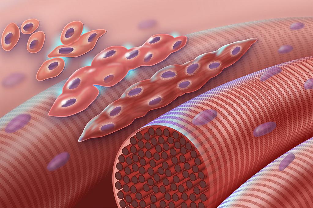 На животных апробирован препарат для омоложения мышечных клеток