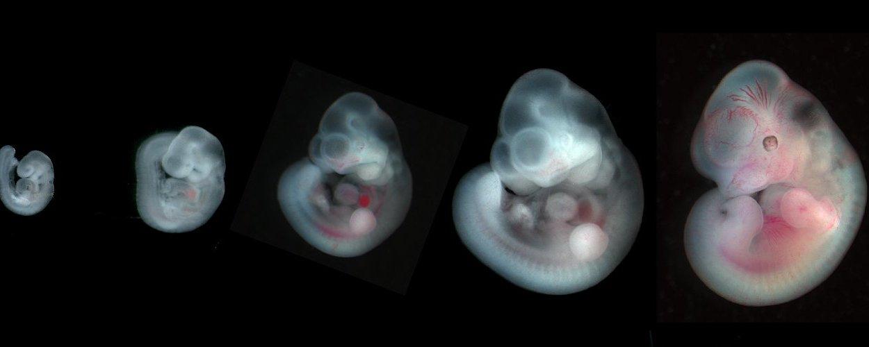 В Японии одобрены эксперименты на эмбрионах животных, содержащих клетки человека