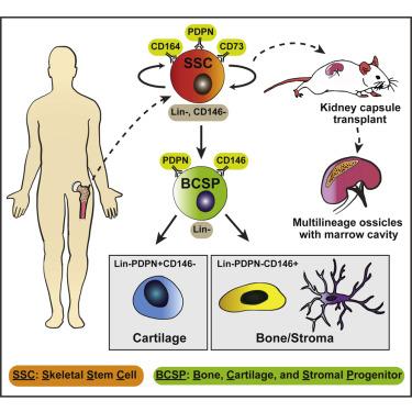 Американские ученые открыли новый тип стволовых клеток, дифференцирующихся в клетки костной и хрящевой ткани