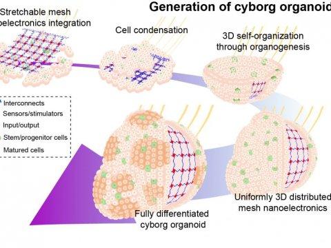 Гарвардские ученые смогли вырастить «органоид-киборг»